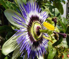 Mučenky (lat. Passiflora) patří do čeledi mučenkovitých rostlin (lat. Passifloraceae). Mučenky jsou vytrvalé, popínavé rostliny či keře, pocházející většinou z Jižní Ameriky. Hojně zastoupené jsou však i v Severní Americe, Asii a Austrálii.