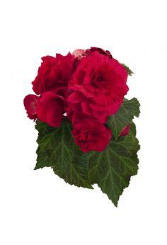 Nonstop™ Deep Rose - Tuberous Begonia - Begonia tuberhybrida