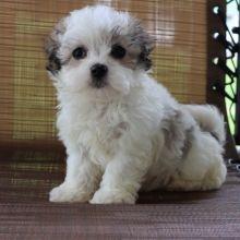 Maltipoo Puppies For Sale Puppyspot In 2020 Maltipoo Puppy