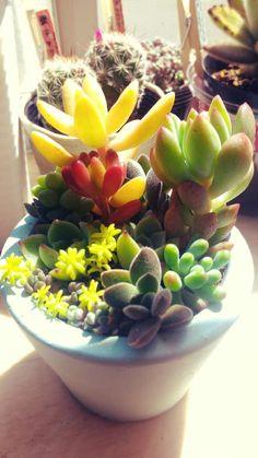 succulents Sedum adolphi pachyphyllum