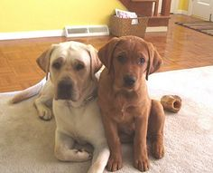 I want a fox red lab! Hope Luna agrees =\ How cute would they be together omg
