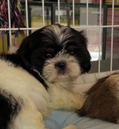 Black & White Shih Tzu Puppy