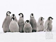 Emperor Penguin Chicks, Aptenodytes Forsteri, Weddell Sea, Antarctica Photographic Print by Frans Lanting at Art.com