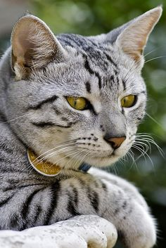 Gorgeous silver tabby cat ~ Oh my he know's it too. ♥