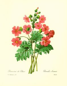 This print is taken from a french book published in 1983. Pierre- Joseph Redoute (1759 - 1840) was a French painter and botanist known for his watercolors of flowers and fr... #illustration ➡️ http://jto.li/VwRmK