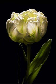 Parrot Tulip, serene