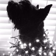 Chloe our Giant Schnauzer with Christmas lights