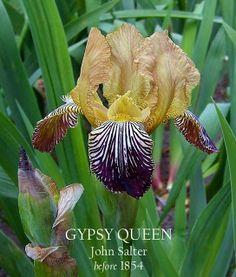 Bearded Historic Iris GYPSY QUEEN ~ HERITAGE IRISES