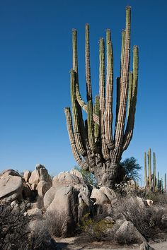 Cardon, Pachycereus pringlei (Cactaceae) - The largest species of cactus on Earth, Baja California, Mexico's Cardon dwarfs its Saguaro relative by attaining heights of greater than 60 feet.