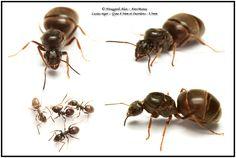 Lasius niger :: Gyne 8.5mm et ouvrières 3.5mm