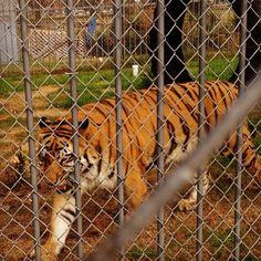 Not a happy tiger ;(