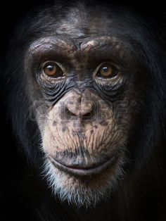 Sold today @123rf #Closeup #portrait of #common #chimpanzee http://www.123rf.com/photo_33946355_closeup-portrait-of-common-chimpanzee-with-beautiful-brown-eyes.html