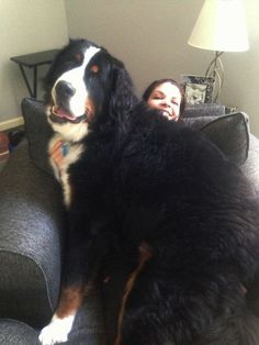 I am a Bernese mountain dog, but they call me Sugar!