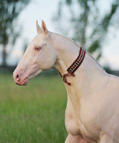 Мирас - Конный завод Dacor    Miras - cremello stallion, Posman line, born in 2002 at DACOR stud, Kazakhstan