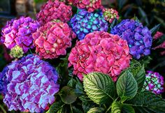 Picture of Colorful Hydrangeas stock photo, images and stock photography. Hydrangea Colors, Hydrangeas, Christmas Rose, Pink And Green, Make It Simple, Bloom, Creative, Flowers, Plants