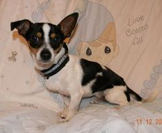 Check out Fernando's profile on AllPaws.com and help him get adopted! Fernando is an adorable Dog that needs a new home. https://www.allpaws.com/adopt-a-dog/chihuahua/1837877?social_ref=pinterest