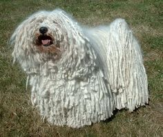 Puli dog photo | PULI Dog Pictures, Photos, and Images, Photo Gallery of PULI Dogs