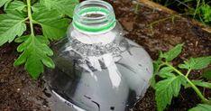Bottle Drip Irrigation - good idea for the tomatoes! Bottle Drip Irrigation - good idea for the tomatoes! Bottle Drip Irrigation - good idea for the tomatoes! Container Gardening, Gardening Tips, Organic Gardening, Desert Gardening, Vegetable Gardening, Drip Irrigation System, Drip System, Lawn And Garden, Plastic Bottles