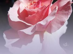 Dreams of You by Music of the Heart pink rose, pink flower, flower, rose