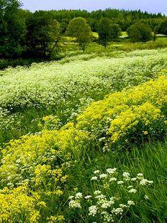 Wild flowers in spring,Sweden. Photo Marita Toftgard