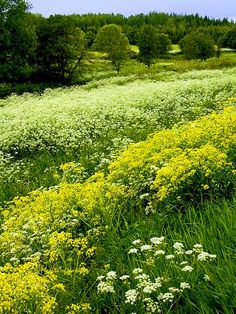 Wild flowers in spring, Sweden