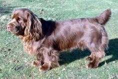 Sussex Spaniel - Interesting Facts Clumber Spaniel, Spaniels, Spaniel Breeds, Dog Breeds, Mans Best Friend, Best Friends, Sussex Spaniel, English Springer, Interesting Facts