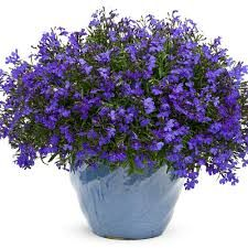 Buy Flowering Annuals online from Garden Crossings Online Garden Center. We offer a Large selection of hard to find Proven Winners® Annual Plants. Types Of Plants, All Plants, Garden Plants, House Plants, Exotic Flowers, Colorful Flowers, Blue Flowers, Plant Order, Thing 1