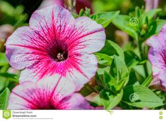 Strawberry Petunia With Gree Leaves In Background Stock Photo ...