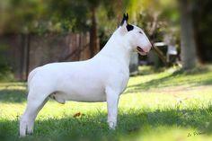 Proud male EBT white with black ear markings.