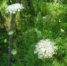 queen ann's lace - The difference between wild carrot (queen anne's lace) and deadly hemlock... Key - queen anne's lace always has a central purple flower and hairy stem