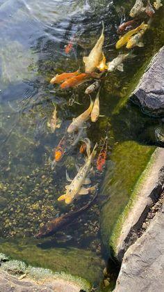 Coy Fish, Koi Fish Pond, Betta Fish, Fish Ponds, Fish Pond Gardens, Koi Art, Fish Wallpaper, Beautiful Nature Wallpaper, Tanked Aquariums