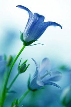 blue bells....