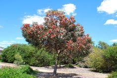 Eucalyptus torquata – Coral Gum seed – Ole Lantana's Seed Store Types Of Eucalyptus, Eucalyptus Tree, Landscape Plans, Landscape Design, Garden Design, Australian Native Garden, Evergreen Trees, Shade Trees, Types Of Soil