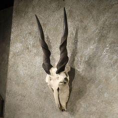 Eland Skull 3/4