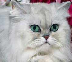 gato persa - Pesquisa Google