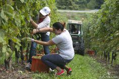 I sommelier FISAR di Treviso raccolgono l'uva insieme ai soci UICI
