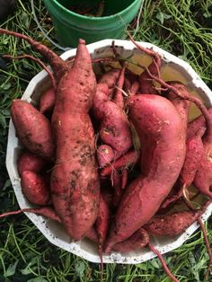 How to Grow a Massive Sweet Potato Harvest With DIY Containers - Gardening Channel Container Herb Garden, Container Gardening Vegetables, Potato Gardening, Organic Gardening, Organic Vegetables, Growing Vegetables, Gardening For Beginners, Gardening Tips, Growing Sweet Potatoes