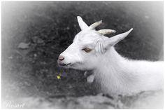 ... Animal Kingdom, Photo Art, Goats, My Photos, Animals, Animales, Animaux, Animal, Animais
