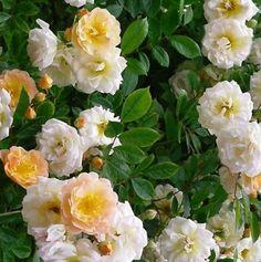 Barackszín futó rózsa - 'Rosa Ghislaine de Feligonde' | Mindentakertbe