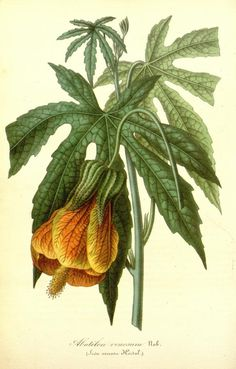 Abutilon venosum (Flowering Maple)    I HAVE ONE OF THESE. *so excited*    http://archive.org/details/mobot31753002747258