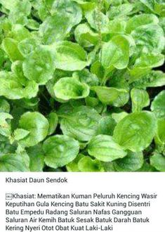 Khasiat Daun Sendok Herbal Remedies, Home Remedies, Natural Remedies, Healthy Tips, Healthy Recipes, Back To Nature, Homemade Spices, Medicinal Plants, Health Education