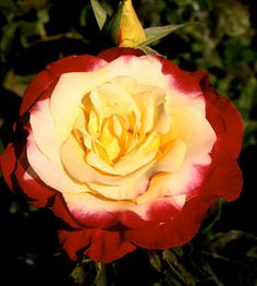 Double Delight    One of the most distinctive hybrid tea roses, 'Double Delight' bears creamy white flowers with rich, cherry-red edges that deepen as the flower ages, as well as a knock-your-socks-off fragrance. It's one of the most dramatic and dependable roses in the garden.    Size: To 5 feet tall and wide    Zones: 3-9
