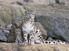 Femelle panthere des neiges et son bébé                                                                                                                                                      Plus