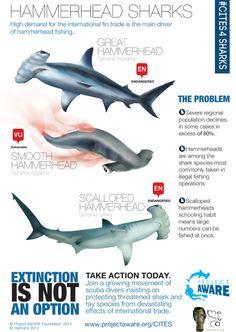 Hammerhead Sharks #Infograrphic by Memuco I Project AWARE #CITES4SHARKS