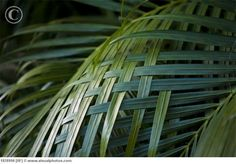 palm frond weave