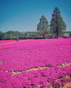 Kamu no Sato Rokutan Beautiful Gardens, Beautiful Flowers, Moss Phlox, Natural Earth, Aerial View, Japan Travel, Great Photos, Kyoto, Fields
