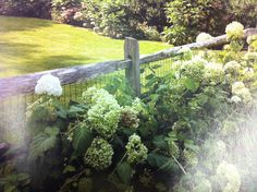 split rail fence and hydrangeas.  NOTE: Animal fence does not allow plants to spill through fence.