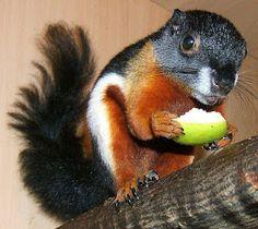 Prevost's squirrel ~ So pretty