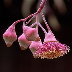 Gum-nuts .... The hard woody flower and seed capsules of trees of the genus Eucalyptus.