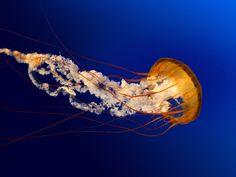 jellyfish - Google-søk